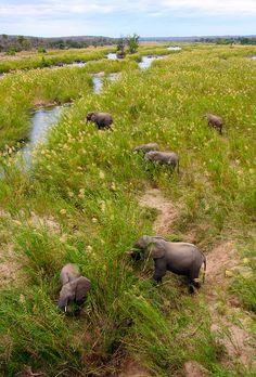 Elephant herd    Elephant herd, Kruger Park, South Africa