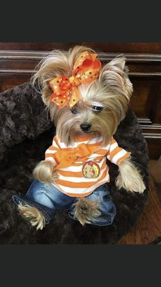 rolling in like a butterball . Cute Dogs And Puppies, Baby Dogs, I Love Dogs, Doggies, Yorshire Terrier, Bull Terriers, Collie, Yorkie Clothes, Teacup Puppies