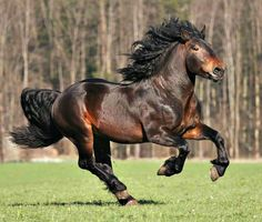 Noriker (Austria). Beside the basic coat colours bay, black and chestnut, there are spotted Leopard complex horses, Mohrenköpfe (blue roan), and other roan colors, tobianos and overos. Gray does not occur. Img: Noriker stallion, Ramur Nero. photo: Irene Gams.