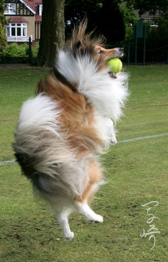 Action Sheltie; my male Shelty will ask that I through his squeaky tennis ball till my arm falls off while our first female Shelty had.no interest in fetching.