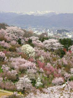 花見山公園。福島県。