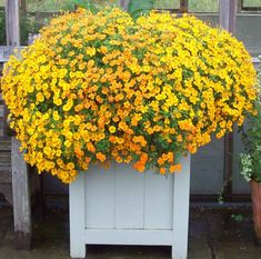 2018 is the Fleuroselect Year of the Marigold - here's my pick of the best. Tub at RHS Harlow Carr.