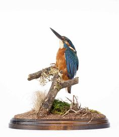 https://flic.kr/p/wgnVyj | DPABRW55 | Taxidermy secimen of a kingfisher Alcedo atthis, found Chalksprings, Winchester Road, New Alresford, Hampshire in 1993.  HMCMS:Bi1993.2.38 DPABRW55