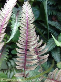 Painted fern in marvelous mauve!  www.purplepottingshed.com