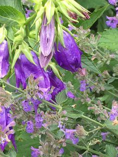 Campanula 'Kent Belle' (bell flower) Nepeta faassenii (catmint) - front garden left corner Garden Leave, Garden Pictures, June, Corner, Flowers, Plants, Florals, Planters, Flower