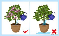 How to Grow Bougainvillea. Bougainvillea is a tropical, shrub-like vine that bursts forth with colorful flowers for 11 months of the year if it's planted in the right climate. To grow bougainvillea, plant it in full sun, slightly acidic. Hibiscus Garden, Hibiscus Flowers, Tropical Garden, Tropical Plants, Fruit Garden, Bougainvillea Bonsai, Vines, Balcony Plants, Small Gardens
