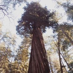Caliparks : Henry Cowell Redwoods State Park has some dog friendly trails. Local Parks, Park Photos, Park City, Dog Friends, Regional, State Parks, Vacations, Trail, California