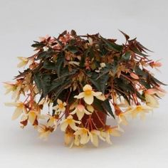 Proven Winners - Bossa Nova® Yellow - Begonia boliviensis yellow soft yellow plant details, information and resources. Flower Pots, Yellow Plants, Orange Plant, Plants, White Plants, Flowers, Colorful Flowers, Begonia Boliviensis, Pink Plant