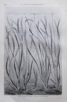 1896 VALLISNERIA SPIRALIS alter Druck antique Print Lithographie Pflanze
