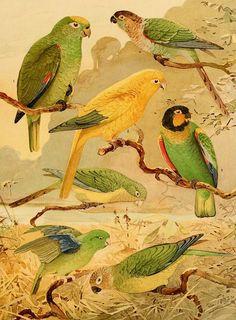 Album de Aves Amazonicas   Biodiversity Heritage Library inspiration