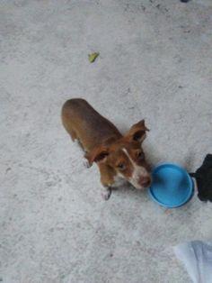 Adopta a Tarina ( Podenco Canario ) - #adopta #perros