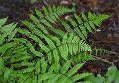 Athyrium filix-femina (lady fern) « Native plants for a Cape Cod ...