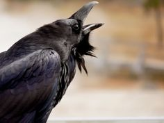 """Nevermore"" will you have to read another article about ravens after this! Quoth The Raven, Raven Bird, Dark Wings, Raven Tattoo, Jackdaw, Crows Ravens, Bird Perch, All Birds, Animals Of The World"