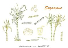 Find Hand Drawn Sugar Cane Set Sugarcane stock images in HD and millions of other royalty-free stock photos, illustrations and vectors in the Shutterstock collection. Sugar Cane Plant, Sugar Industry, Juice Logo, Sugarcane Juice, Liberty University, Sugar Cubes, Plant Drawing, Plant Illustration, Body Modifications