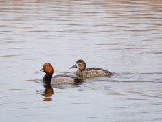 Redheads ©Kevin Rutherford. Wild Bird Company - Boulder, CO, Saturday Morning Bird Walk in Boulder County - March 12, 2016.