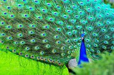 tavus kuşu ile ilgili görsel sonucu