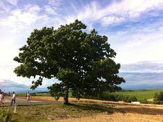 Tree of seven star @ Biei