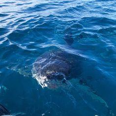 Great White Shark sneaking up. Cute Shark, Great White Shark, Shark Week, Orcas, Shark Diving, Sharks, Shark Photos, Shark Pics, Apex Predator