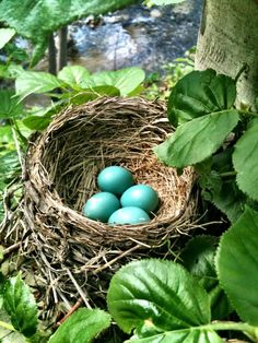 American Robin eggs. An American Robin can produce three successful broods in one year. On average, though, only 40 percent of nests successfully produce young. Only 25 percent of those fledged young survive to November.  (Photo: Laura Epps)