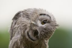 Las 100 fotos de búhos más simpáticas de todos los tiempos