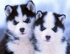 I wish my dogs could have baby huskys. But they're brother and sister :'(
