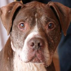 7/29/16 Meet Rufus, an adoptable Pit Bull Terrier looking for a forever home. If you're looking for a new pet to adopt or want information on how to get involved with adoptable pets, Petfinder.com is a great resource.