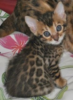 5 Interesting facts about Bengal Cats, click the pic to read