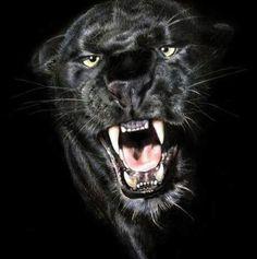 Ferocious panther ...