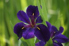 Louisiana iris has one of the most diverse range of colors of any iris plant. There are five separate species of this distinctive iris. Click on this article for some important Louisiana iris information, including growing, site and care.