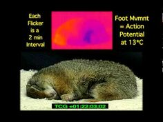 Hibernation Phenomenon of Re-Warming Arctic Ground Squirrel with Infrared Camera Ground Squirrel, Elementary Science, Arctic, Warm, Tips, Youtube, Advice