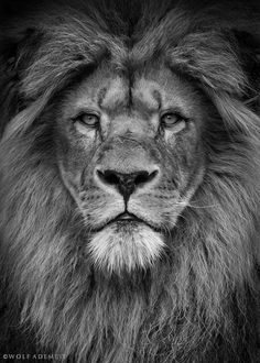 lion black and white pictures for desktop wallpaper 2048 x 2048 px