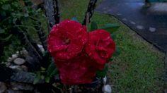 Rosas da Deusa com beijos das Ondinas.