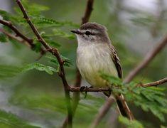Foto piolhinho (Phyllomyias fasciatus) por Antonio Nobre | Wiki Aves - A Enciclopédia das Aves do Brasil