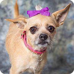 Gilbert, AZ - Chihuahua/Terrier (Unknown Type, Small) Mix. Meet Chicklet, a dog for adoption. http://www.adoptapet.com/pet/11828716-gilbert-arizona-chihuahua-mix