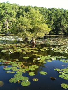 Caddo lake is like nothing I've ever seen - Texas Fishing Forum