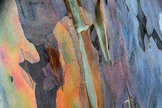 Bark of Eucalyptus Tree / Lai Chan See