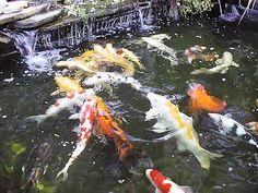 Koi teich fischarten w hlen z chten tipps see for Japanische teichfische
