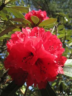 Red Rhododendron Blossoms by Oliver Riedel
