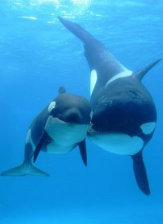 Orca mom and calf.