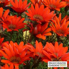 Exclusive. Gazania krebsiana 'Scarlet Tanager' (Scarlet Tanager African Daisy) is a cold hardy perennial Gazania grown for its large, incredibly scarlet flowers that appear in in mid-spring and again in the fall after the heat of summer is over. Drought resistant/drought tolerant plant (xeric).