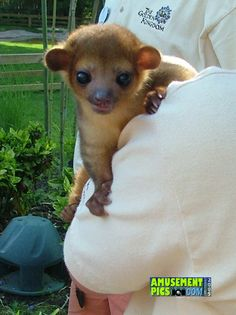 What I want.. a baby Kinkajou