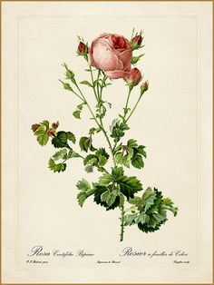 "Pierre-Joseph Redouté ""Les Roses - Rosa Centifolia Bipinnata"" 1819-24 | by Plum leaves"