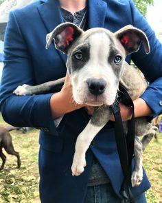 Pitbull puppy! Nashville PITTIE Fest 2017. #pitbull #puppy #dogs