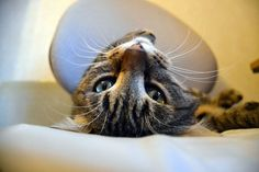 Cat - European - Ficel on www.yummypets.com
