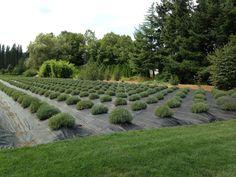 Woodinville Lavender Farm