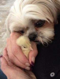 Soooo sweet.!!!    My sisters Dog Sami's intro to baby chicks!