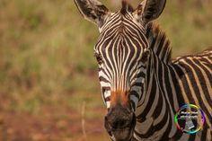 Curious Zebra !!! - Africa Safari IN - Africa Specialist Tours ! - www.africasafari.in