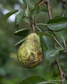 """#ChickPicotheDay! (Day 3,224) """"There are only 10 minutes in the life of a pear when it is perfect to eat."""" ~Ralph Waldo Emmerson Me thinks this pear is past it's 10 minutes...... • • • • • #Pear #PearTree #Fruit #FruitTree #BrantCounty #HeatherCardlePhotographer Pear Trees, Fruit Trees, Image Shows, Past, Life, Past Tense, Pears"""