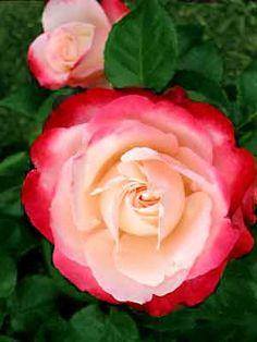 """~""""Nostalgie"""" rose"""