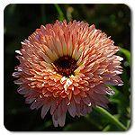 Organic Strawberry Blonde Calendula